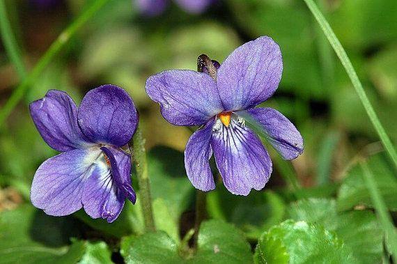 Lightworker Flower Essence Blend Alcohol Free Sweet Violets Flower Essences Pansies