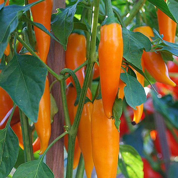 Bulgarian Carrot (Shipka's Pepper). 5,000 - 30,000 Scoville Units. Capsicum annuum. This heirloom pepper was supposedly smuggled out through the iron curtain 20 years ago. This attractive white flowering plant produces glossy orange colored peppers resembling carrots. The peppers are hot and mature from green to yellow and then to orange.