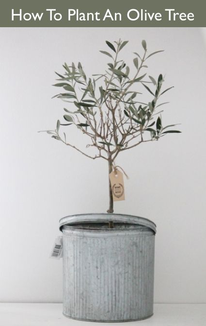 How To Plant An Olive Tree...http://homestead-and-survival.com/how-to-plant-an-olive-tree/