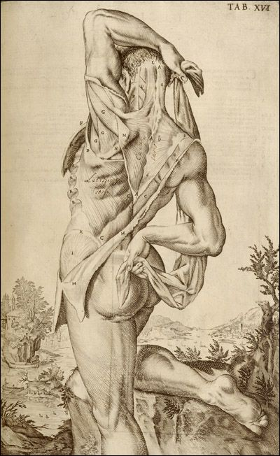 Dissected man showing the viewer his back. Cropped, from Giulio Casserio, Tabulae Anatomicae (Venice, 1627). Copperplate engraving. Artist: Odoardo Fialetti.
