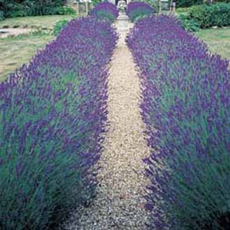 lavender hidcote blue strain lavenders pinterest. Black Bedroom Furniture Sets. Home Design Ideas