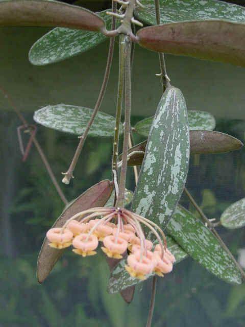 HOYA SIGILLATIS, The Silver Flecked Hoya