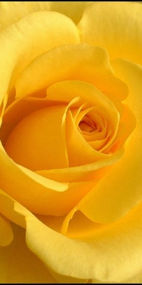 Yellow Rose - every time I see a yellow rose, I miss my Dad.