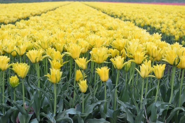 Geel tulpenveld in Breezand