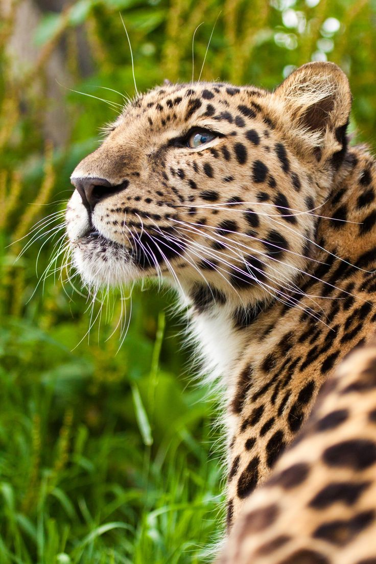 Amur Leopard by Patrick Walker on 500px