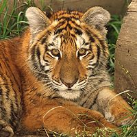 You can adopt Kamrita, a female Bengal tiger. Kamrita is one of the last 150 Bengal tigers left in Nepal: she represents all the tigers @WWF UK help.