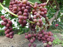 Vitis 'Spulga', vinranka. Rödlila söta druvor. Planteras i okalkad jord. Kan odlas utomhus på varm plats.