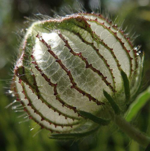 phoco:  glassy seedpod on Flickr.