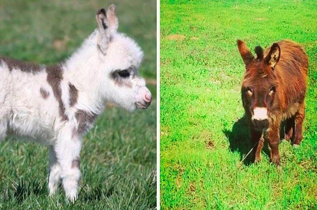DOLLY ADOGABLES 20 Mini Donkeys long for loving, furever homes! Pawlease pin and share ❤ Dolly‬‬‬‬‬‬‬‬‬‬‬‬‬