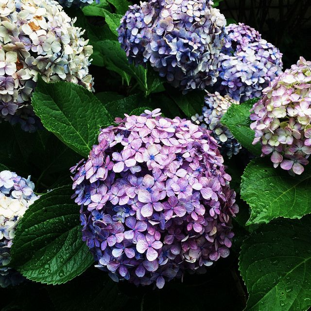 hydrangeas in cape may Flowers Pinterest Hydrangeas