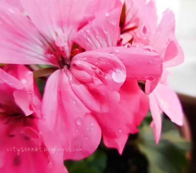 Spring jubilation the freshly bathed soft petals lively gentle raindrops…