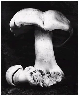 Edward Weston, 'Toadstool, 1931'  Edward Weston negative, Cole Weston print