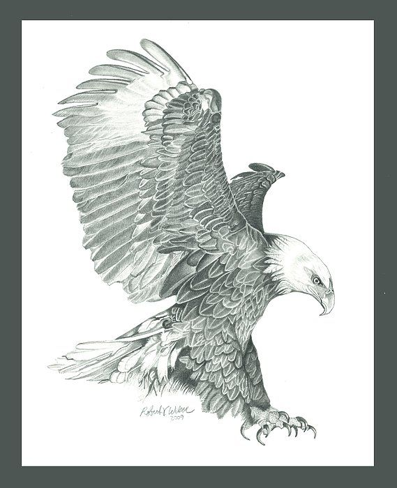 Bald Eagle In A Dive Drawing by Robert Wilson