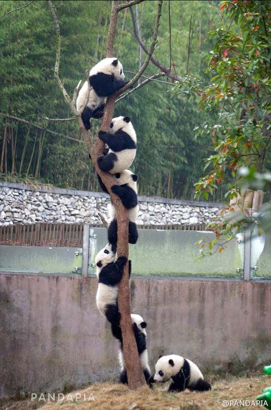 "In southwest China's Chengdu Panda Base shows that several pandas climbed a tree to make a panda ""kebab! So cute!"