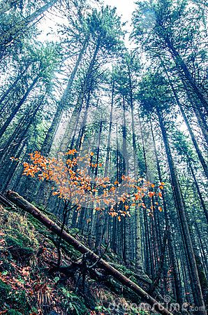 Tall trees in Transylvania`s foggy forest and orange young tree