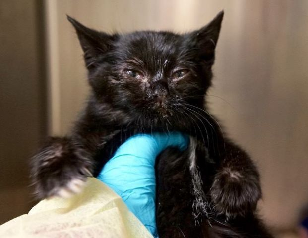 NATASHA ROMANOFF - 17241 - - Manhattan ***TO BE DESTROYED 01/04/18***BEGINNER BABY NEEDS YOU! Adorable nine week old black kitten, Natasha Romanoff was brought in by police. She has a cold and conjunctivitis & needs a furever home where she can recuperate. BE HER HERO BY OFFERING TO FOSTER OR ADOPT. ONLY HAS TIL NOON TOMORROW!!! - Click for info & Current Status: http://nyccats.urgentpodr.org/natasha-romanoff-17241/
