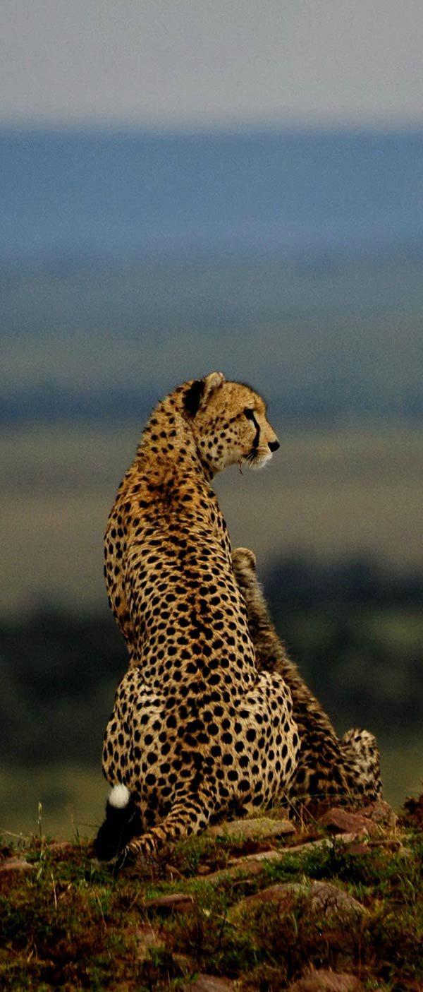 Mother Cheetah and young surveying the Masi Mara
