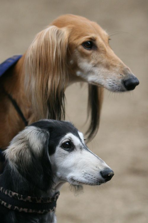 22 best Saluki images on Pinterest | Animaux, Doggies and Dogs
