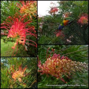 Grevillea Superb x 7 Native Garden Plants Hardy Shrub banksii x bipinnatifida $30.00