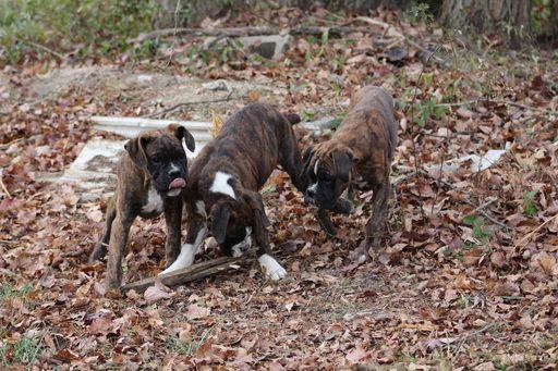 Rose Glen North Dakota ⁓ Try These Free Boxer Puppies In Kentucky