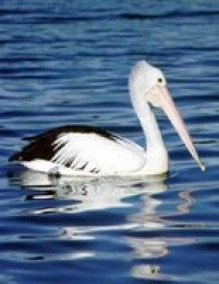 Australian Pelican - So many of these beautiful birds swarmed the beach when we were fishing!