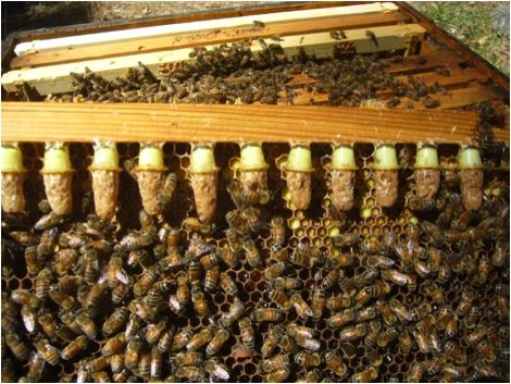 Queens For Pennies First published in: American Bee Journal, March 2014 - day 4 after grafting