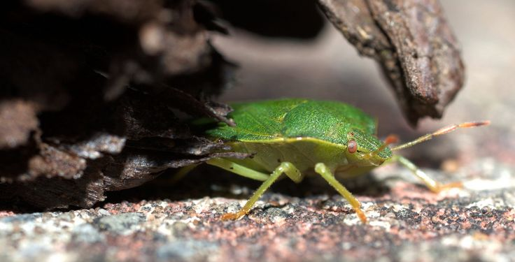 https://flic.kr/p/JPGk3r | Green Shield Bug | A shot of a Green Shield Bug or Stink Bug due to the bad odour they give out when threatened as my dog Minnie found out when she tried to sniff it followed by 10 minutes of sneezing and rubbing her face...lol  Common names.  Common green shield bug and southern green shield bug Scientific names Palomena prasina and Nezara viridula Plants affected  Common Green Shield Bug various plants. Southern green shield bug: runner bean, tomato and…