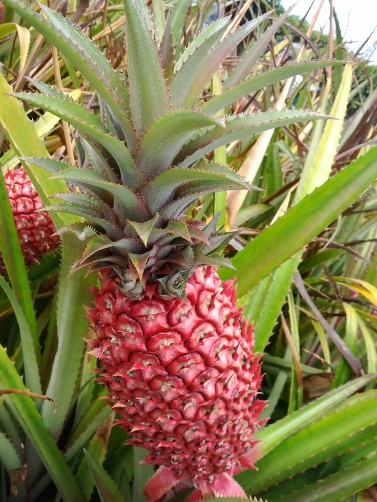 Red pineapple or ananas bracteatus is a species of the for Ornamental garden plants