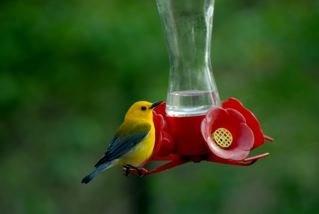 Caroline County Maryland Bird Club: Yellow Hummingbirds? No, its a warbler!