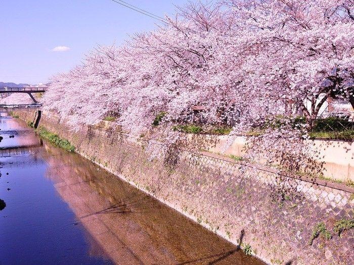 桜・春の京都を楽しもう!おすすめの見所満載のお花見・観光モデルコース3選