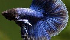 betta-splendens-pesce-combattente