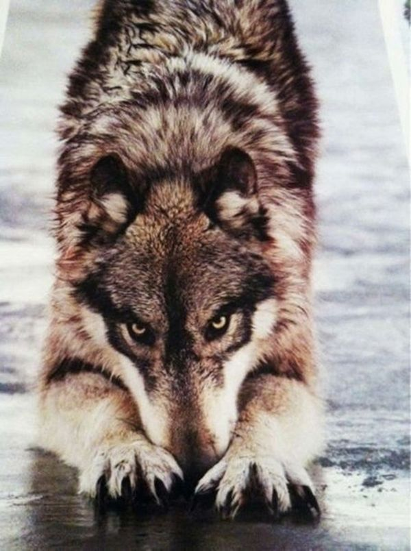 1000  images about <b>Wolves</b> on Pinterest | <b>Wolf</b> love, <b>Wolves</b> and A <b>wolf</b>