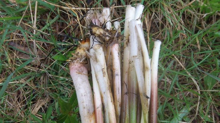 Harvesting Cattail Shoots | Survival Magazine - Survival Blog- SHTF & Prepper Info & Homesteading