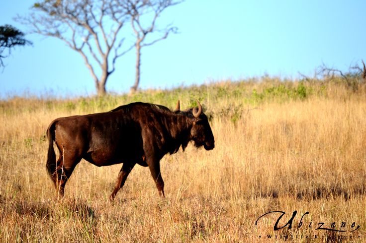 One of Ubizane's Wildebeest Bulls marking his boundary of his territory with heaps of dung and with secretions from his scent glands. The territories are advertised by their behaviour as well as by the physical marking