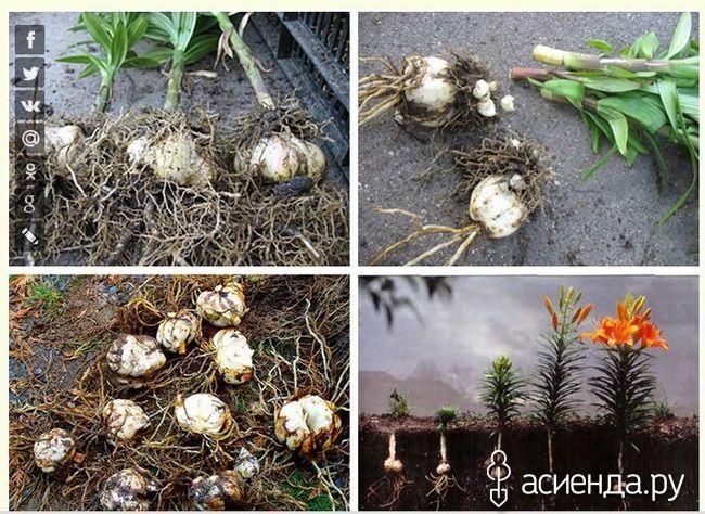 Когда пересаживать лилии: Группа Практикум садовода и огородника