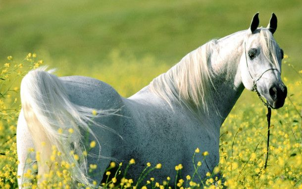 White Horse HD Wallpapers. For more cool wallpapers, visit: www.Hdwallpapersb... You can download your favorite HD wallpapers here .. It's free