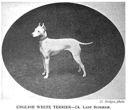 CH LADY SUPERIOR (ENGLISH WHITE TERRIER)~1904