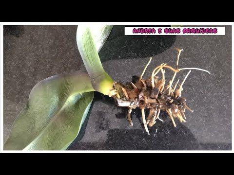 Salvando Orquídea com podridão, folhas murchas e sem raiz. - YouTube
