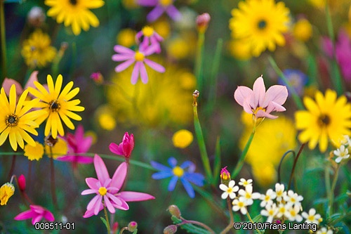 Plastic Garden Edging Cape Town : Namaqualand wildflowers nieuwoudtville south africa by frans