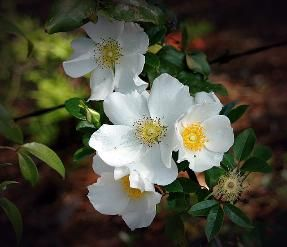 Cherokee Rose & the Indian Legend
