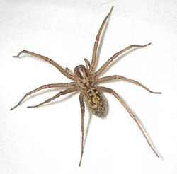 Hobo spider - Wikipedia, the free encyclopedia