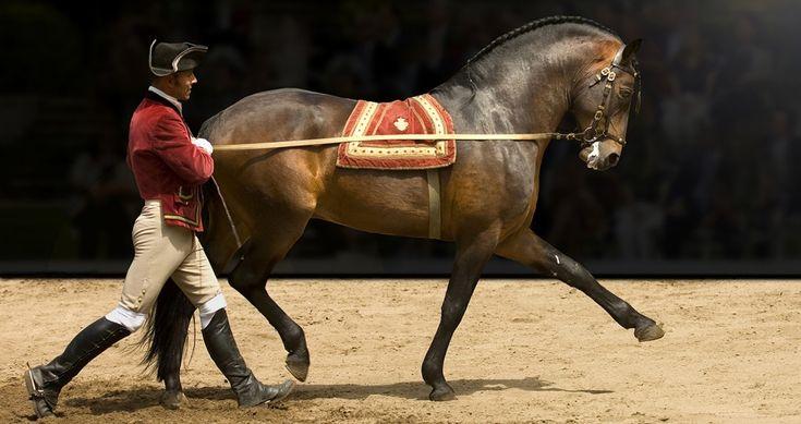 Apresentação com cavalo lusitano da Escola Portuguesa de Arte Equestre com Rédeas Longas e cavaleiro a pé.