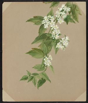 From the collection at Andersen Horticultural Library. Emma Roberts (1859-1948), a watercolorist from Minneapolis, founded the Handicraft Guild, and was supervisor of drawing for Minneapolis Public Schools. Emma painted Clematis virginiana (common Virgin's Bower) in Minneapolis. It is dated July 27, 1885.