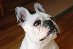 nauka czystości szczeniaka buldoga - french bulldog http://tok-set-amstaff.pl/szczeniak-buldoga-francuskiego/