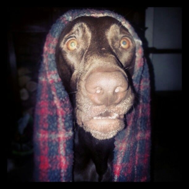 Blanky - gsp / german shorthaired pointer