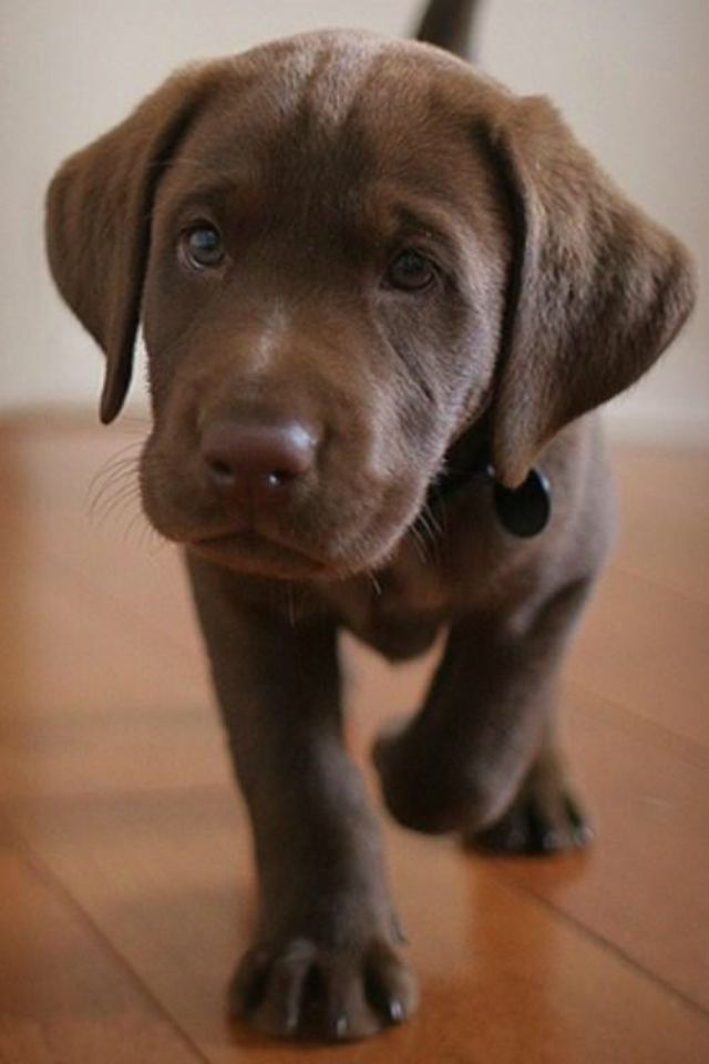 17 best someday images on Pinterest | Puppies, Black labs ...