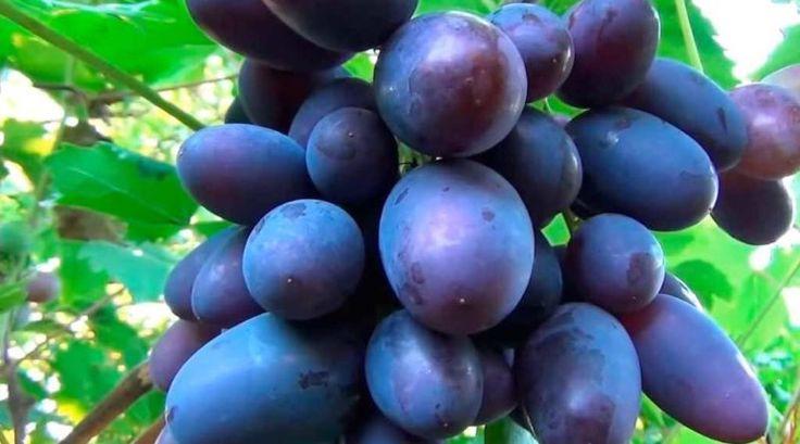 Grapes Viking