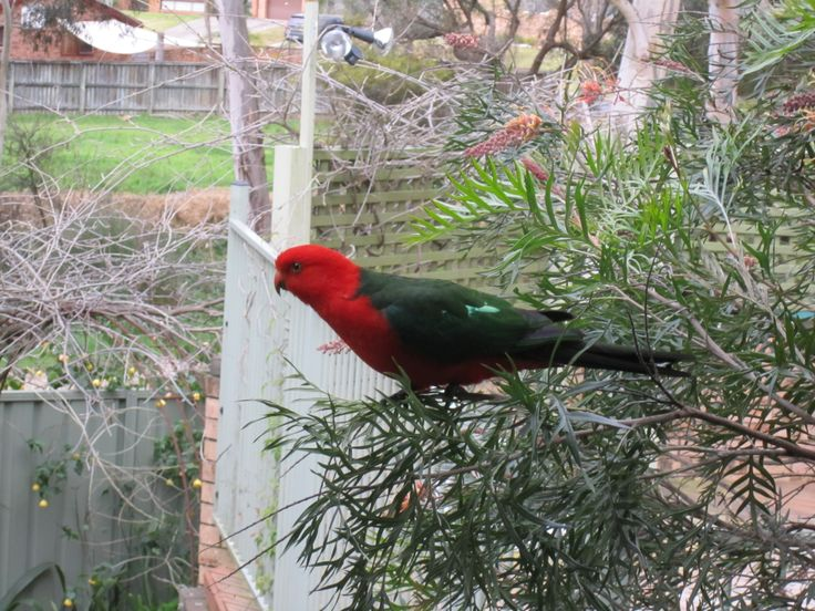 This is Scratchie. He is a King Parrot that visits us frequently. He is gorgeous. He is also wild but he has incorporated our family into his. He used to be a bachelor but then he met his mate. Soon after, in spring, we had his offspring come by. Then the next year more. Now one of his son's, Son of Scratchie, visits us with his mate. We feel privileged to have the trust of this wonderful King Parrot family. The entire local colony stops by from time to time.