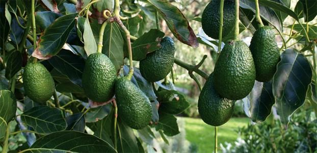 The best backyard variety and the standard by which other avocados are judged.