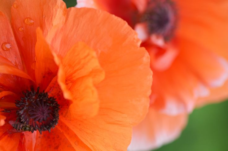 Poppies - In the Garden #self-seeding #poppies #perennials flowers